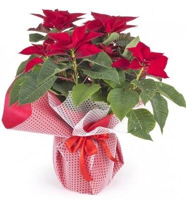 Atatürk çiçeği saksı bitkisi  Gölbaşı çiçek gönder cicekciler , cicek siparisi