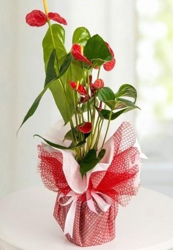 Anthurium Saksı Çiçeği  ankara Gölbaşı çiçek mağazası , çiçekçi adresleri