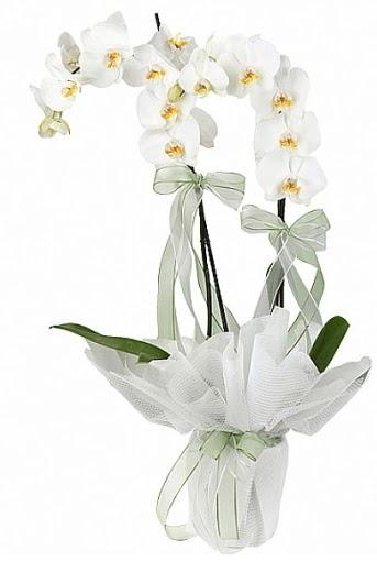 Çift Dallı Beyaz Orkide  Gölbaşına çiçek , çiçekçi , çiçekçilik