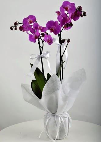 Çift dallı saksıda mor orkide çiçeği  Ankara çiçekçi Gölbaşı İnternetten çiçek siparişi