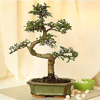 Shape S bonsai  Ankaradaki çiçekçiler Gölbaşı cicek , cicekci