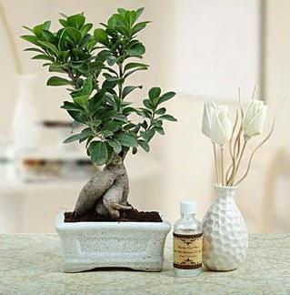 Ginseng ficus bonsai  Gölbaşı çiçek yolla online çiçekçi , çiçek siparişi