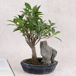 Japon ağacı Evergreen Ficus Bonsai  Gölbaşı çiçek gönder cicekciler , cicek siparisi