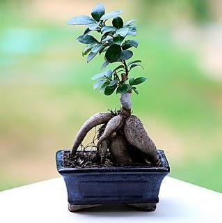 Marvellous Ficus Microcarpa ginseng bonsai  Ankara çiçekçi Gölbaşı İnternetten çiçek siparişi