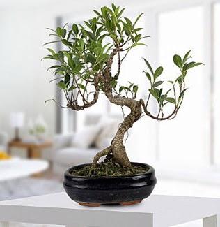 Gorgeous Ficus S shaped japon bonsai  Ankara Gölbaşı internetten çiçek siparişi