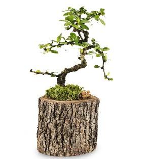 Doğal kütükte S bonsai ağacı  Ankara Gölbaşı hediye sevgilime hediye çiçek