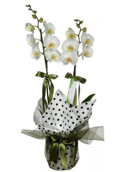 Çift Dallı Beyaz Orkide  Ankara Gölbaşındaki çiçekçiler ankara çiçek satışı