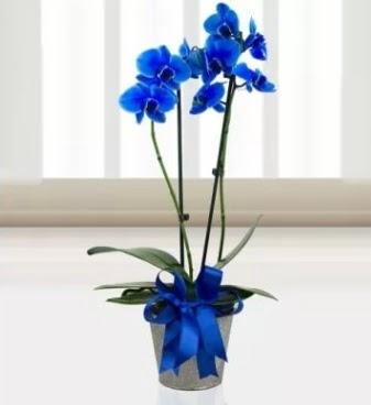 Çift dallı mavi orkide  Ankara Gölbaşı hediye sevgilime hediye çiçek