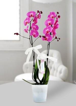 Çift dallı mor orkide  Gölbaşı çiçek yolla online çiçekçi , çiçek siparişi