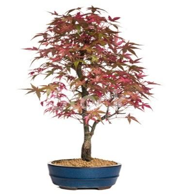 Akçaağaç bonsai süper bonsai ağacı  Gölbaşı Ankara çiçek yolla