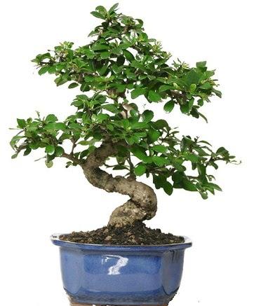 21 ile 25 cm arası özel S bonsai japon ağacı  Gölbaşı anneler günü çiçek yolla