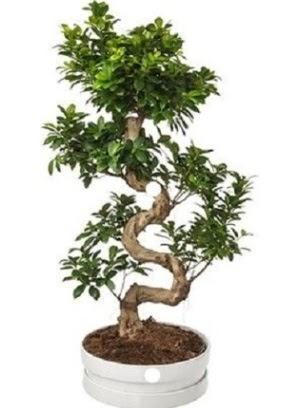 90 cm ile 100 cm civarı S peyzaj bonsai  Gölbaşı çiçek gönder cicekciler , cicek siparisi