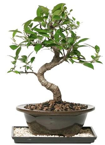 Altın kalite Ficus S bonsai  Gölbaşı anneler günü çiçek yolla  Süper Kalite