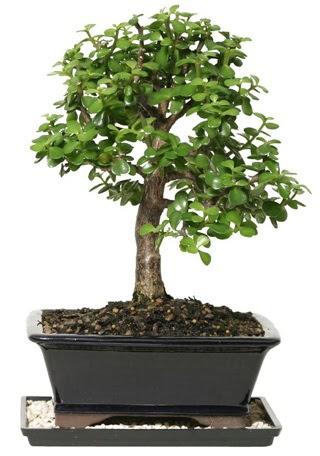 15 cm civarı Zerkova bonsai bitkisi  Gölbaşı çiçekçi güvenli kaliteli hızlı çiçek