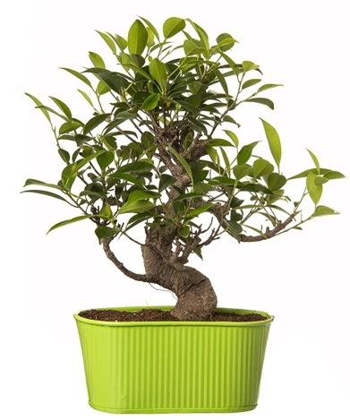Ficus S gövdeli muhteşem bonsai  Gölbaşı çiçekçi güvenli kaliteli hızlı çiçek