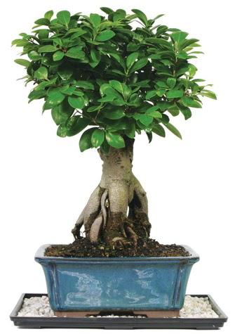 Bonsai Ginsing Grafted Ficus Bonsai  Ankara Gölbaşı çiçekçi uluslararası çiçek gönderme