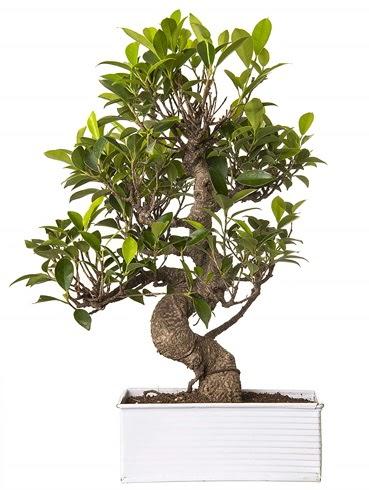 Exotic Green S Gövde 6 Year Ficus Bonsai  Gölbaşı çiçek gönder cicekciler , cicek siparisi